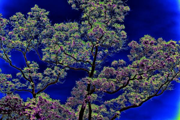 japanischer-weisheitsbaum